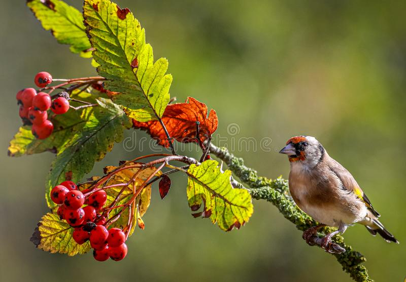 Goldfinch sat in an autumnal Rowan tree. stock images