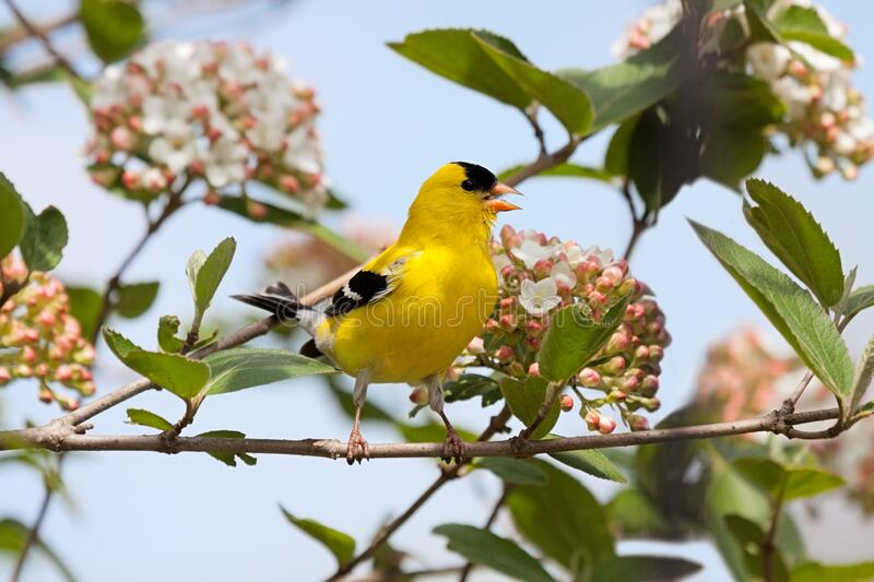 Goldfinch Sings in a Viburnum Bush. A brilliant colored goldfinch sings a song in a blossoming viburnum bush royalty free stock image