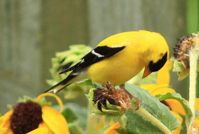 Goldfinch -Sorry Not sorry royalty free stock photography