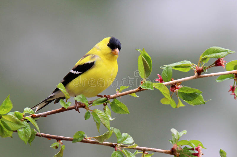 Goldfinch in Spring stock image