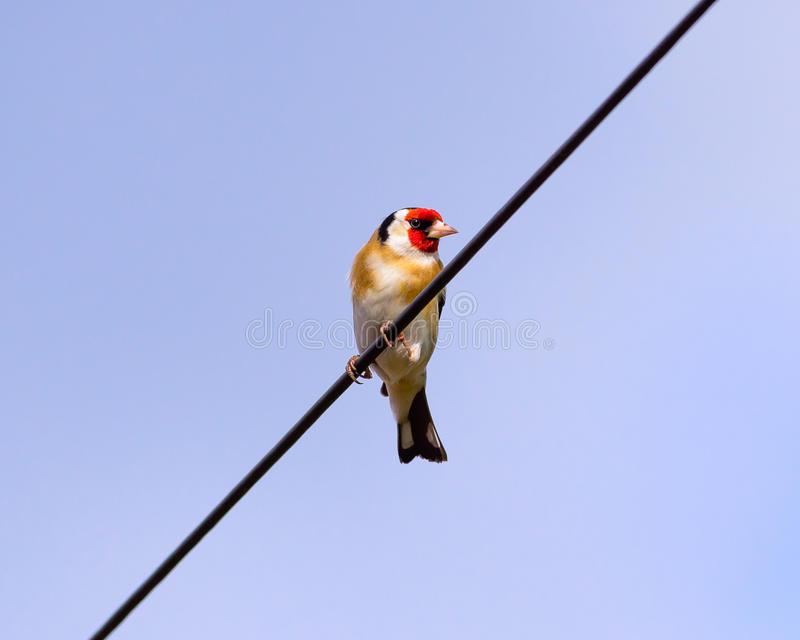 Goldfinch On Telegraph Wire stock photography