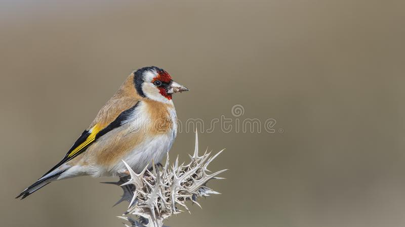 Goldfinch on Thistle with Mud on Beak. Goldfinch, Carduelis carduelis, is perching on thistle looking forward royalty free stock photography