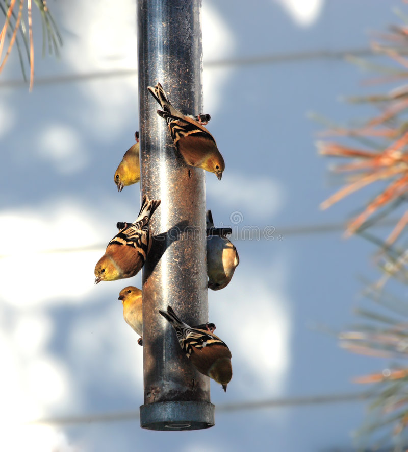 Goldfinches américains femelles photo stock