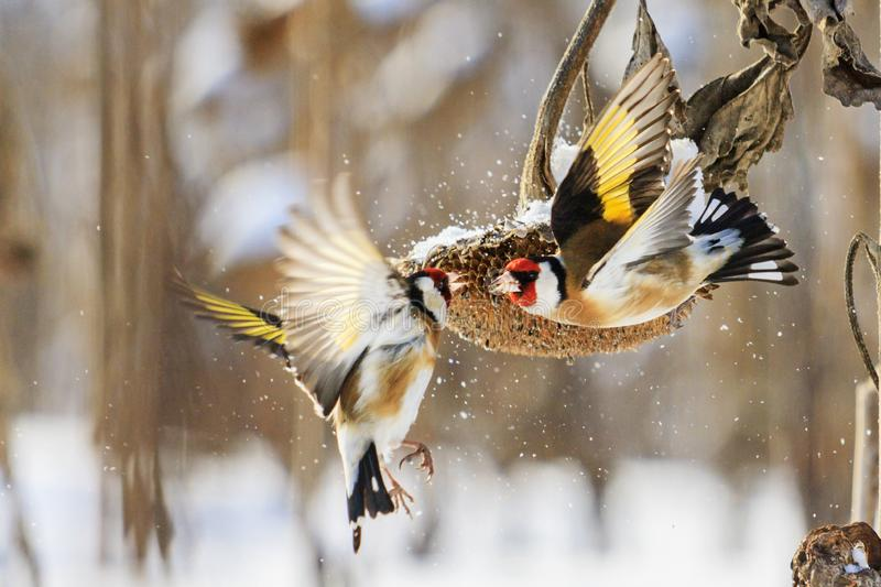 Goldfinches fight in the winter for sunflower royalty free stock photography