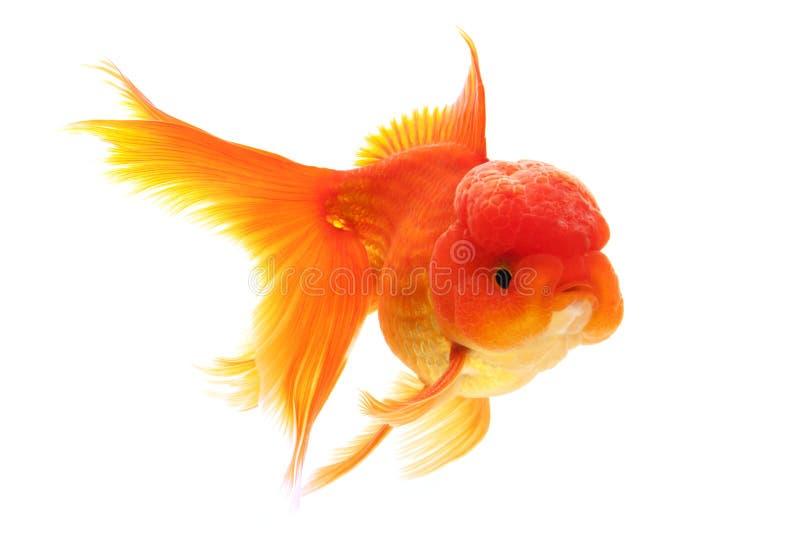 Goldfisch lizenzfreie stockfotos
