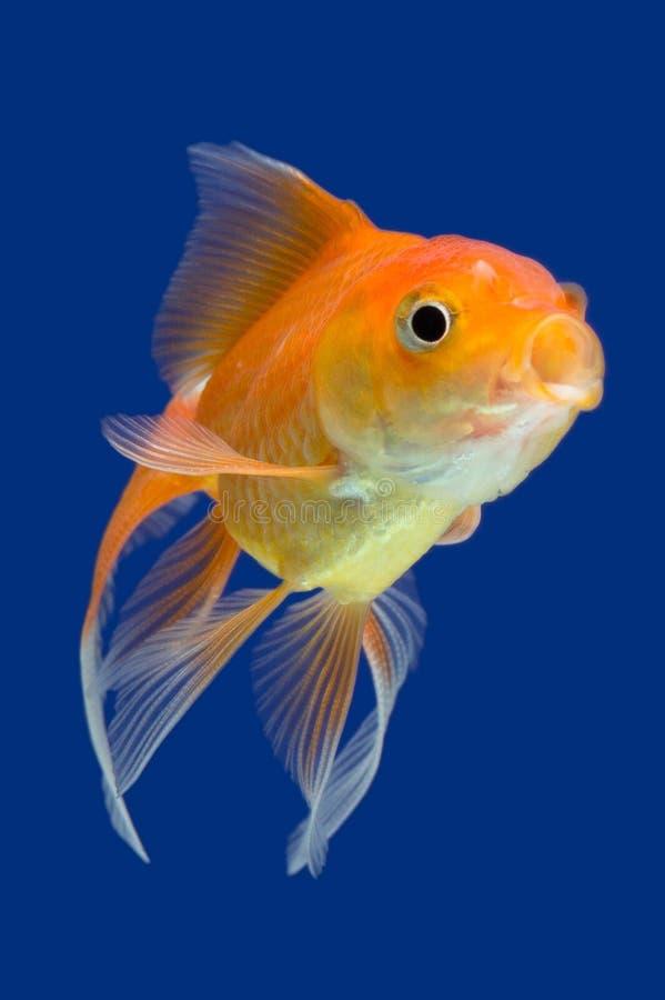 Goldfisch lizenzfreies stockbild