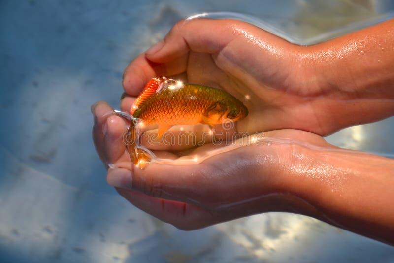 Goldfisch in den Händen lizenzfreie stockbilder