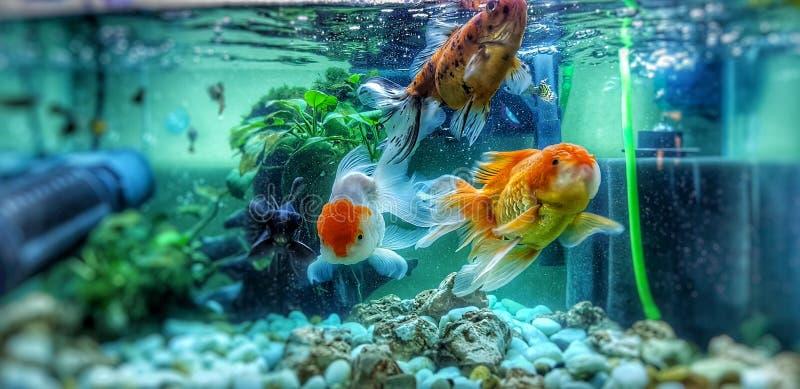 Goldfisch drei im Aquarium stockfoto