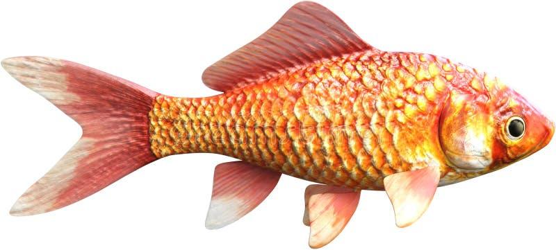 Goldfisch, Fisch, Marine Life, lokalisierte lizenzfreie stockbilder