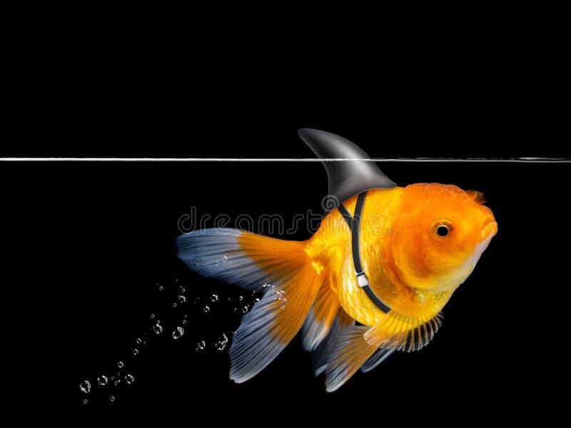 Goldfisch mit Haifischflossenschwimmen auf schwarzem Hintergrund, Goldfischschwimmen mit sich hin- und herbewegenden Blasen, deko stockbild