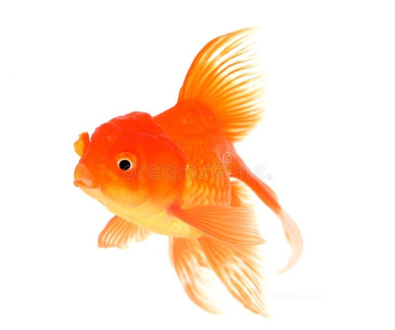 Goldfisch mit Weiß auf Hintergrund stockfotografie