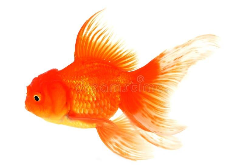 Goldfisch mit Weiß auf Hintergrund stockfotos