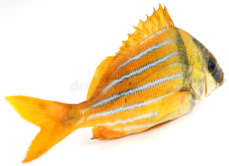 Goldfische stockbilder