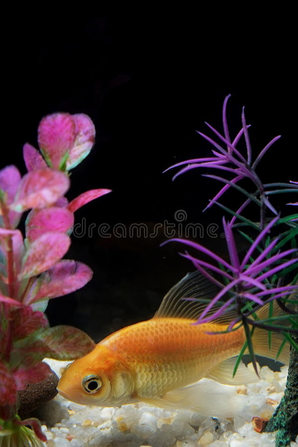 Goldfische, die tief über weißen Kieseln schwimmen stockfotos