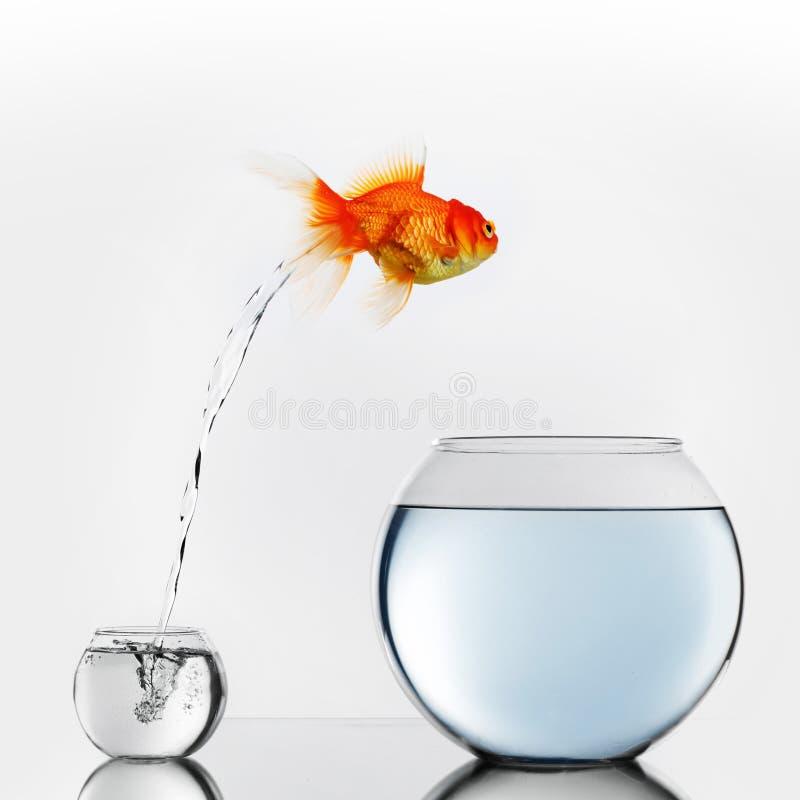 Goldfische, die zum großen fishbowl springen lizenzfreies stockfoto