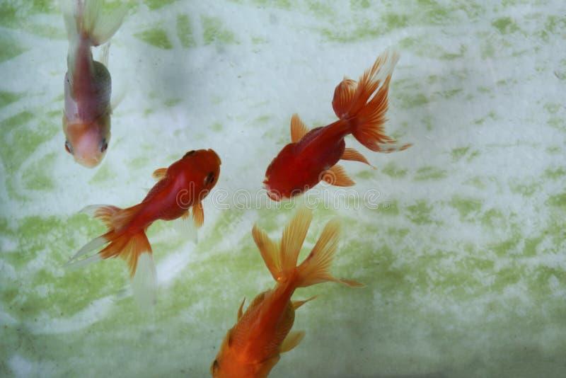 Goldfische im Aquarium stockfotos