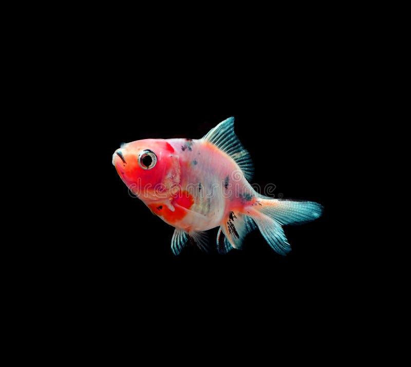 Goldfische mit Schwarzem auf Hintergrund stockfoto