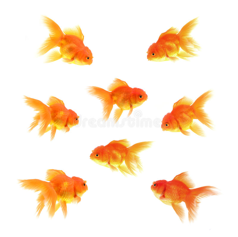 Goldfische mit weißem Hintergrund lizenzfreie stockfotos