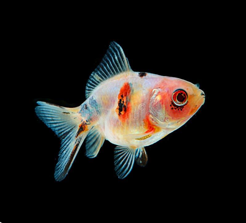 Goldfischschwarzes auf Hintergrund stockbilder