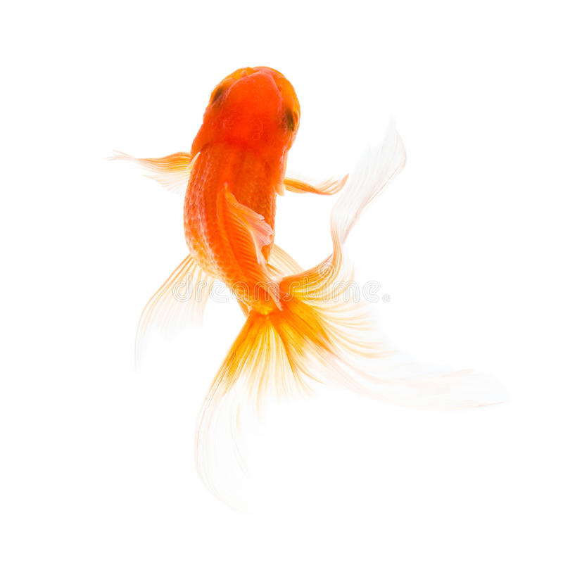 Goldfischschwimmen stockbild