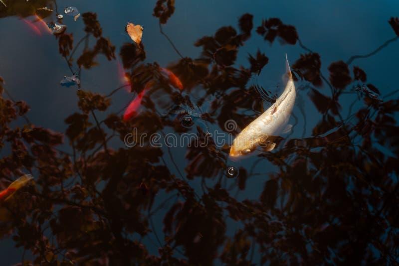 Goldfischschwimmen in einem Teich lizenzfreie stockbilder