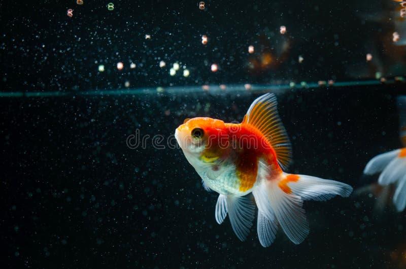 Goldfish łasowania karmowej natury piękna ryba przeciw ciemnemu tłu fotografia royalty free