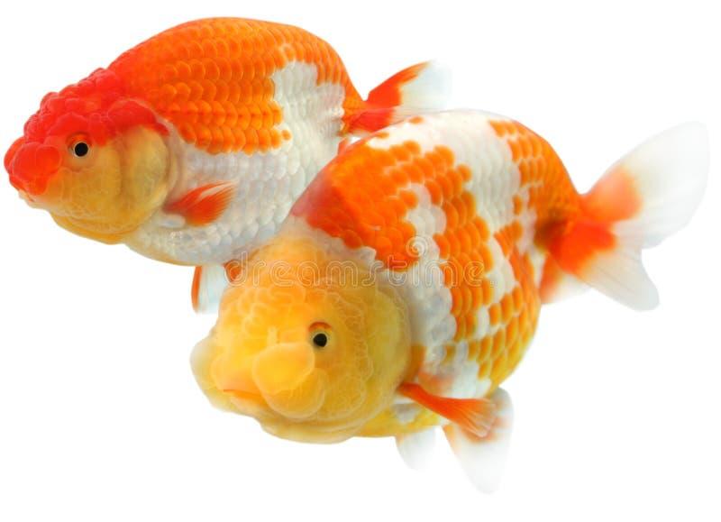 goldfish επικεφαλής λιοντάρι στοκ εικόνες