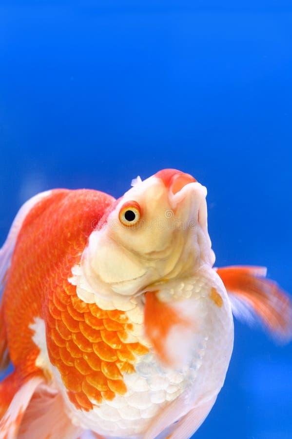 goldfish κόκκινο λευκό ryukin στοκ φωτογραφία με δικαίωμα ελεύθερης χρήσης