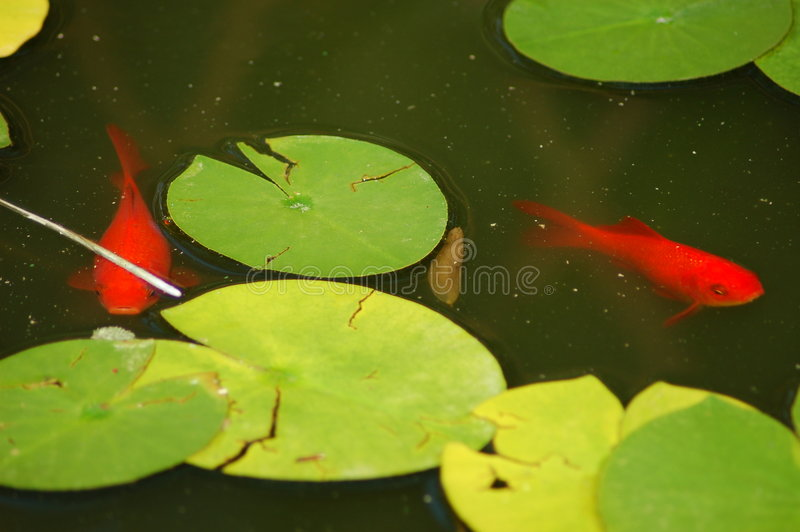 goldfish λίμνη στοκ εικόνα με δικαίωμα ελεύθερης χρήσης