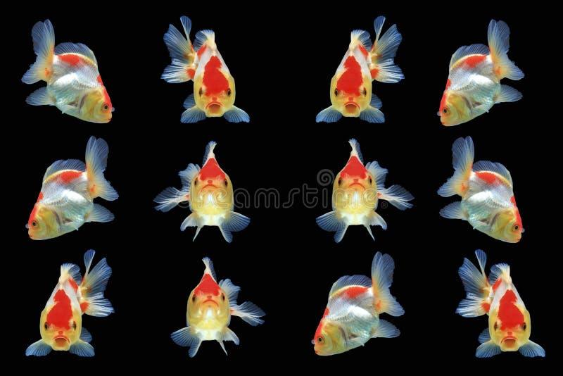 Goldfish που απομονώνεται στη μαύρη ανασκόπηση στοκ φωτογραφία με δικαίωμα ελεύθερης χρήσης