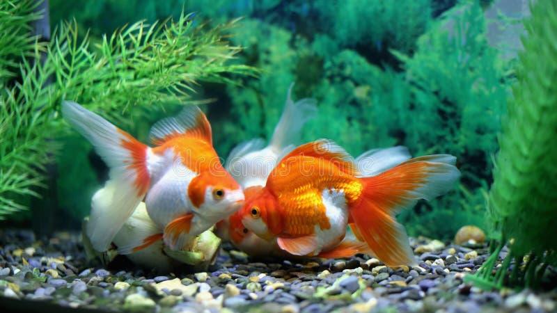 Goldfish σε ένα ενυδρείο στοκ εικόνες με δικαίωμα ελεύθερης χρήσης
