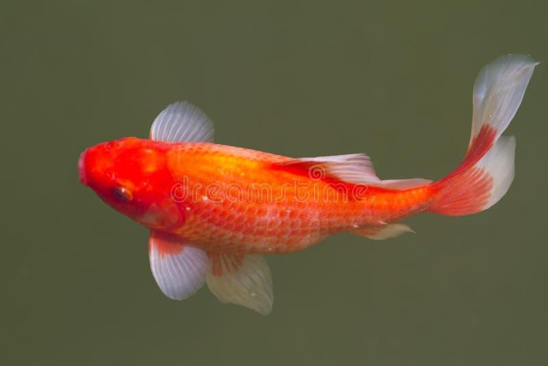 Goldfish σε μια του γλυκού νερού λίμνη στοκ φωτογραφία