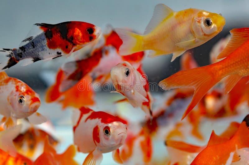 Goldfish στο κατάστημα κατοικίδιων ζώων ενυδρείων στοκ φωτογραφίες