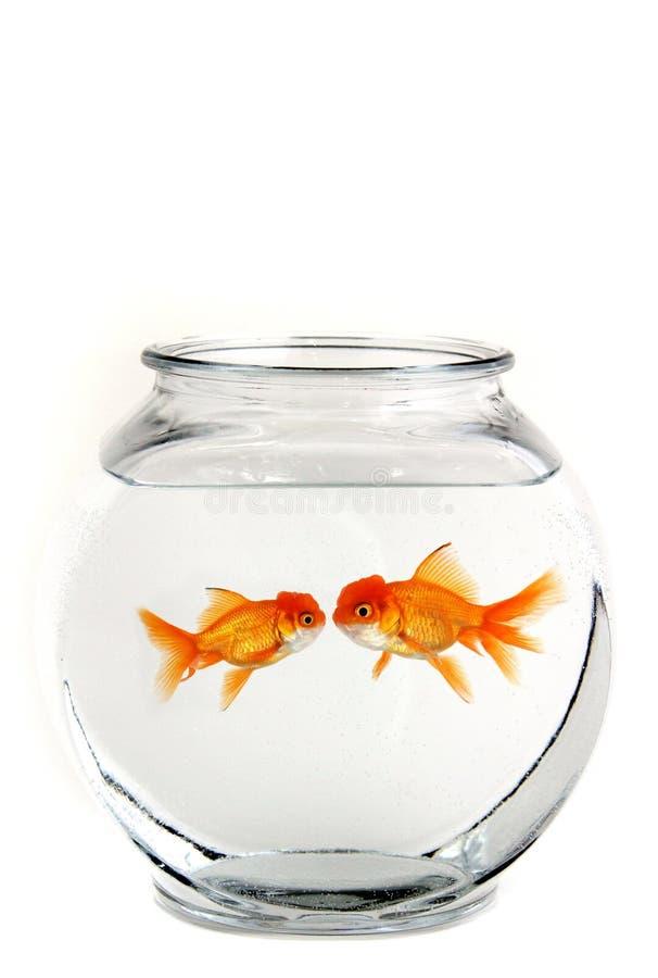 goldfish целуя 2 стоковое фото rf