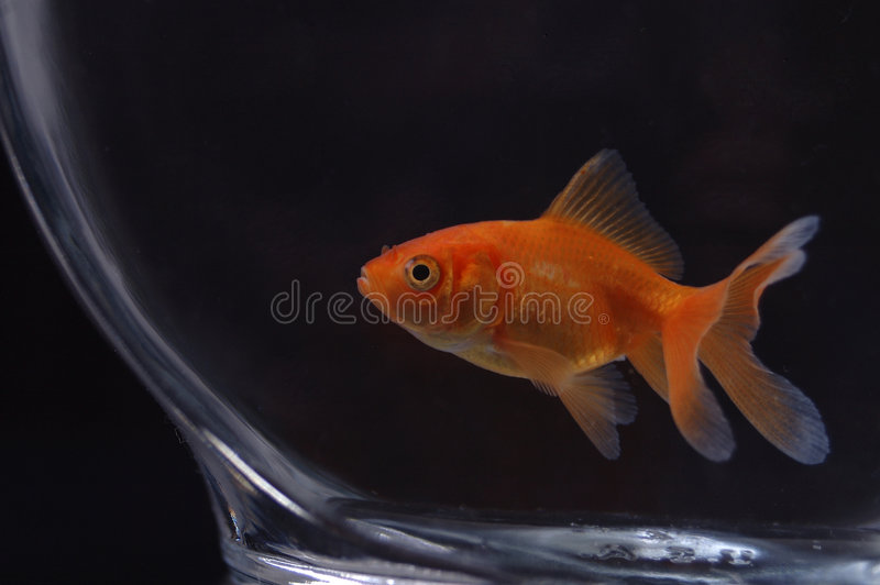 Goldfish 11 fotografia stock libera da diritti