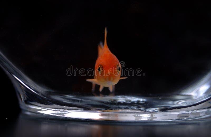 Goldfish 12 fotografie stock libere da diritti