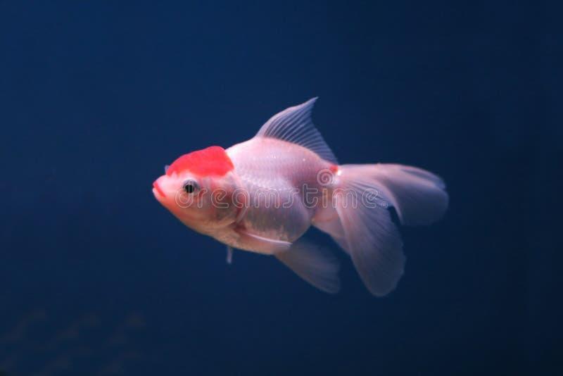 Goldfish stockbild