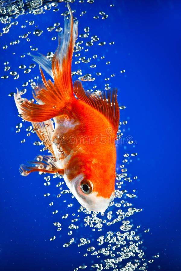Download Goldfish Royalty Free Stock Images - Image: 13300079