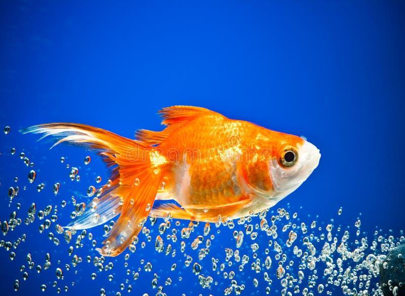 goldfish zdjęcia stock
