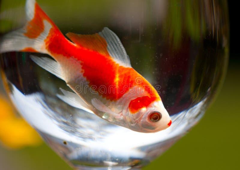 Goldfish photographie stock