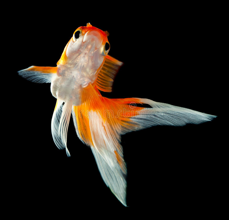 Goldfish fotografia stock libera da diritti