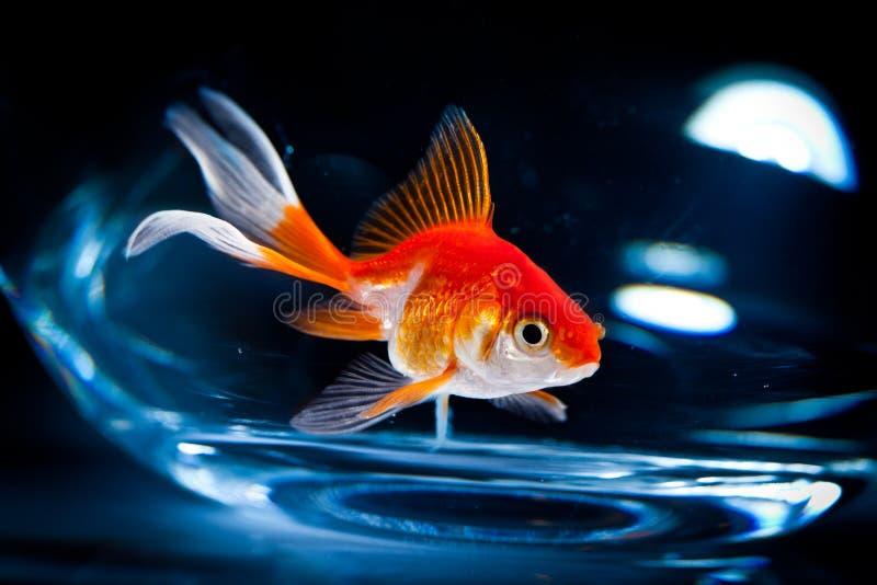goldfish zdjęcia royalty free