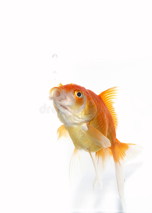 Free Goldfish Stock Images - 1690714