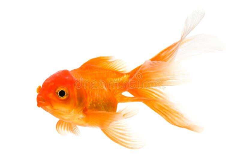 Goldfish fotografía de archivo libre de regalías