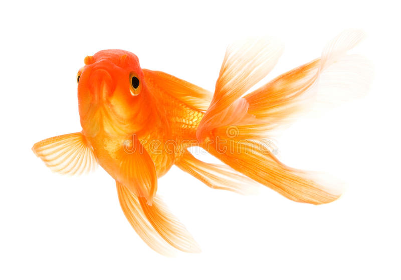 Download Goldfish stock photo. Image of single, isolated, swimmer - 17034822