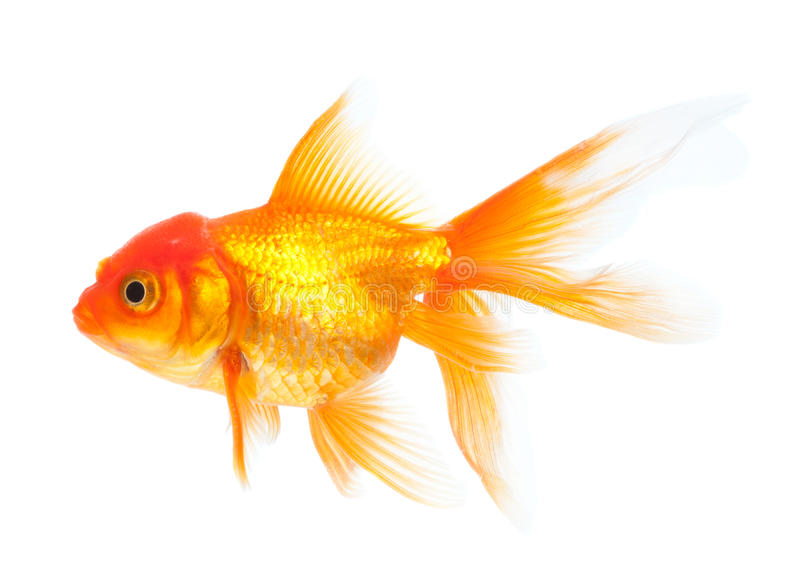 Download Goldfish stock photo. Image of background, domesticated - 17318902