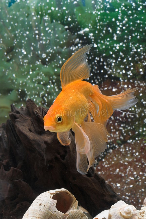 Free Goldfish Stock Photo - 1971290