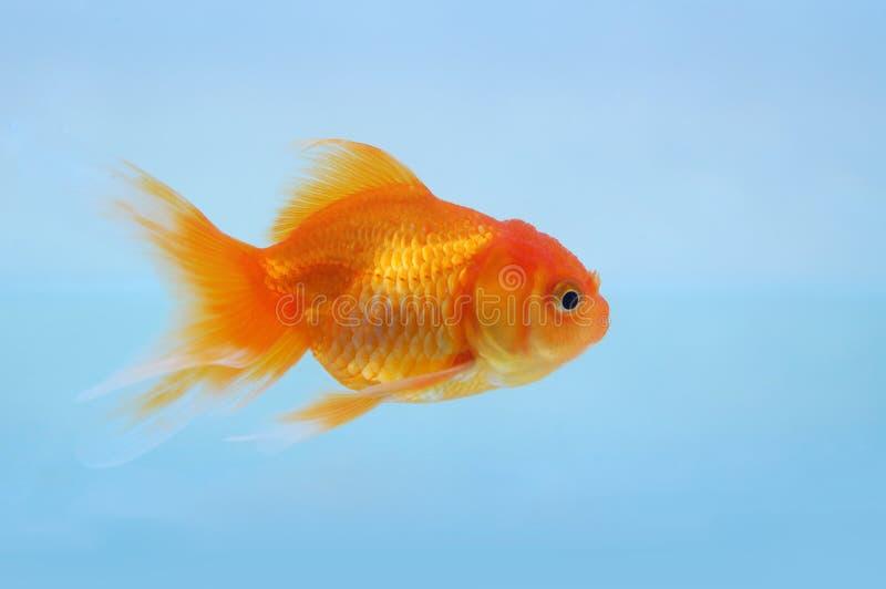 Goldfish photos stock