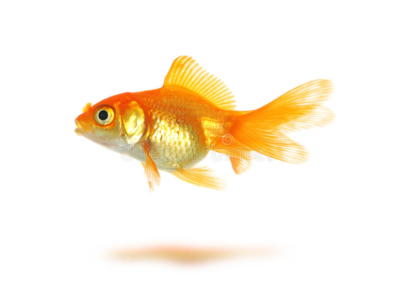 Goldfish fotografia de stock royalty free