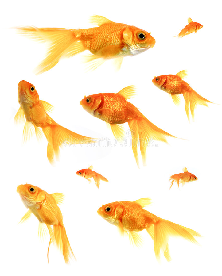 Download Goldfish stock image. Image of fish, aquarium, swimming - 217787